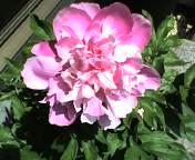 200705121flower3.jpg