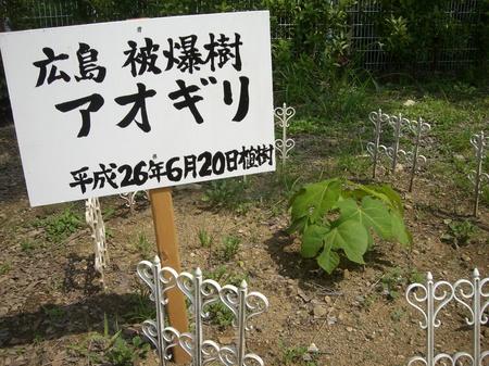 アオギリ.JPG