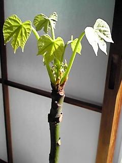 アオギリの芽 2・4.JPG